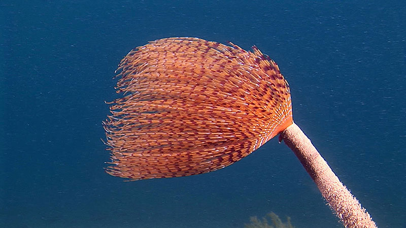Fan Worms : Mediterranean fan worm (Sabella spallanzanii)